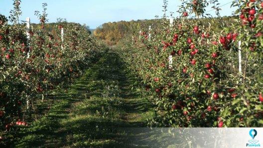 نحوه کاشت درخت سیب