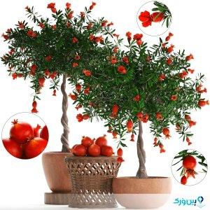 کاشت درخت انار